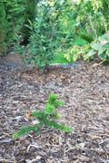 Araucaria araucana - Stránka 2 DSC_0067