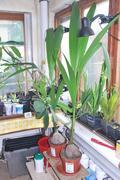 Cocos nucifera - Stránka 10 DSC_0080