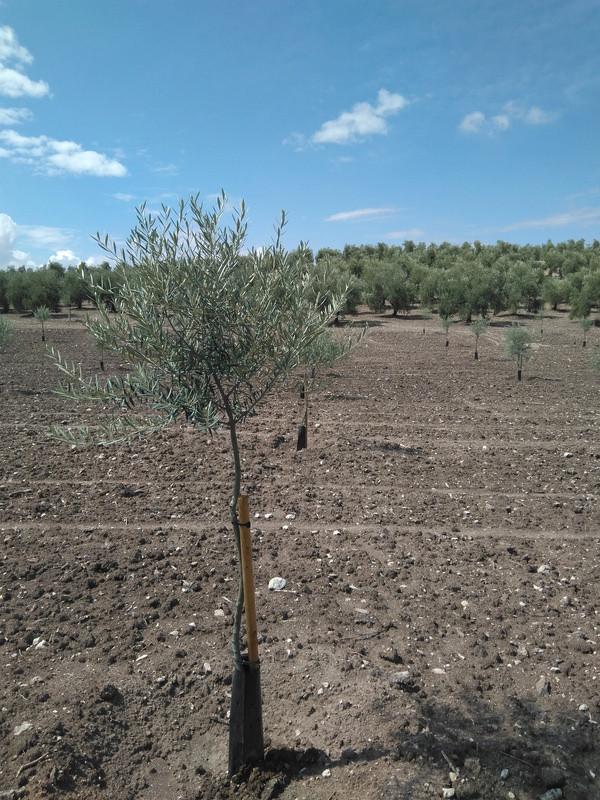 Crecimiento de plantones olivo - Página 12 Img_2014