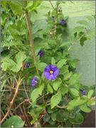 Solanum rantonnetti DSC03721