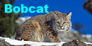 The Cat And The Cucumber Bobcat
