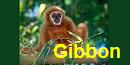 Trail Of Light Gibbon