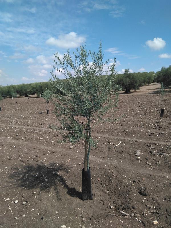Crecimiento de plantones olivo - Página 12 Img_2015