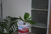 Pěstování ze semínka DSC_0048