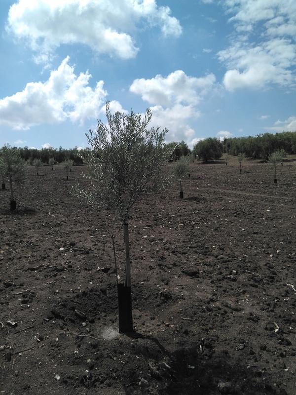 Crecimiento de plantones olivo - Página 12 Img_2017