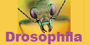 80th Amateur Series Division 5 Drosophila