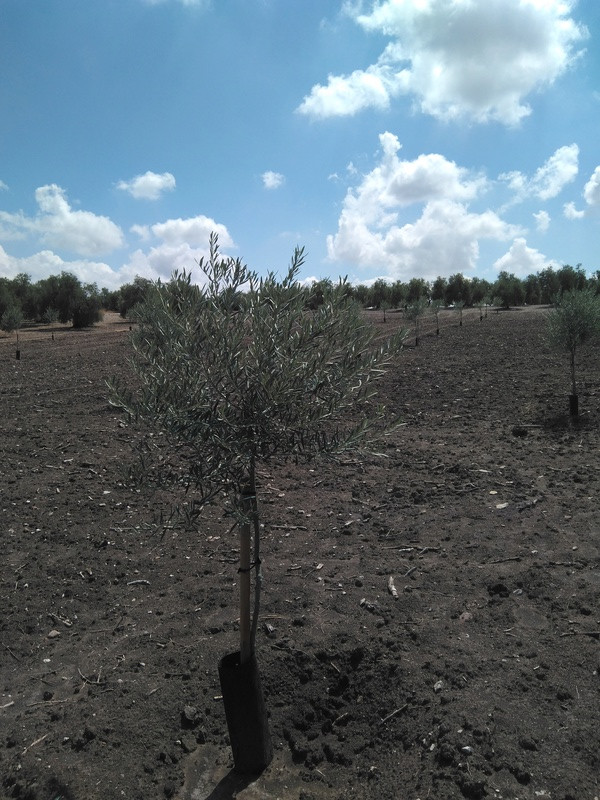 Crecimiento de plantones olivo - Página 12 Img_2016