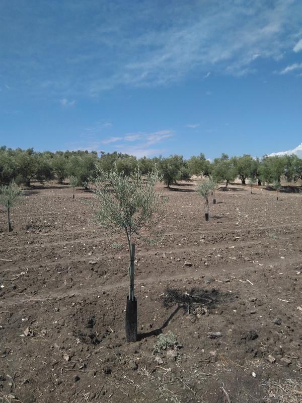 Crecimiento de plantones olivo - Página 12 Img_2018