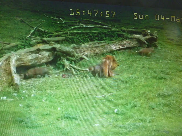 Fox Cam in the Netherlands 2014_05_04_vossen_buiten_15_50_uur_001