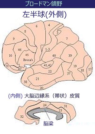 ブロードマン地図、脳回と脳溝、ペンフィールドのホムンクルス図 Brodmann_areahi
