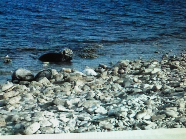 Good Morning! - Page 27 2014_05_03_SEALS_WITH_WHITE_BABYSEALS_001
