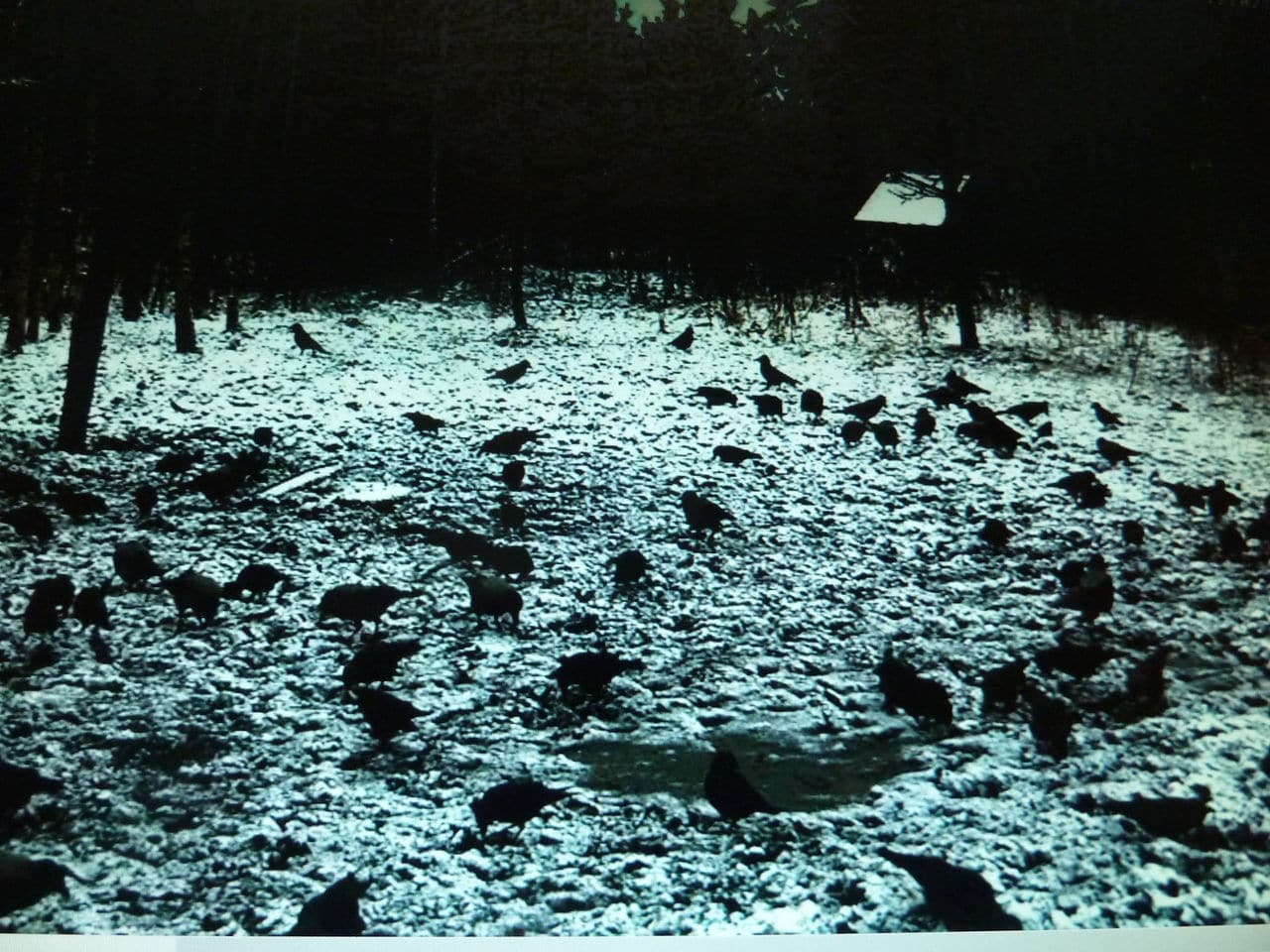 Boars Cam, Winter 2013 - 2014 - Page 3 12_02_2014_black_power_crows_014