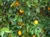 Citrice/Pomi fructiferi