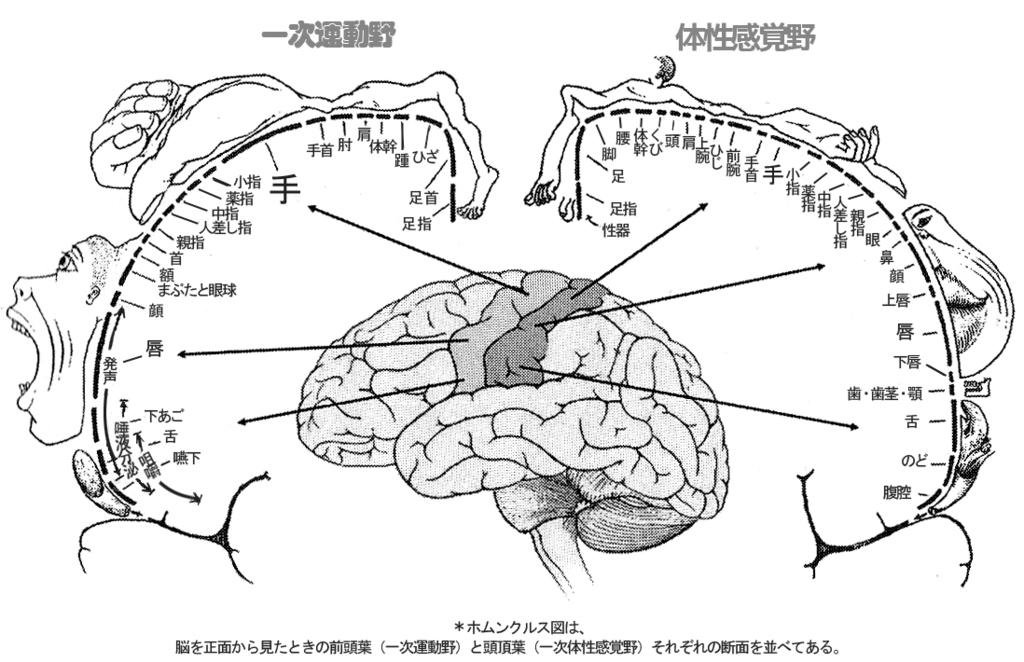 ペンフィールドのホムンクルス(体性感覚野) Image