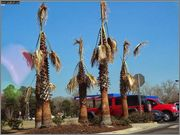 Rod Washingtonia Vashingtonia_Pensacola_po_8_USDA_8b