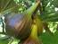 Fíkovníky - rod Ficus