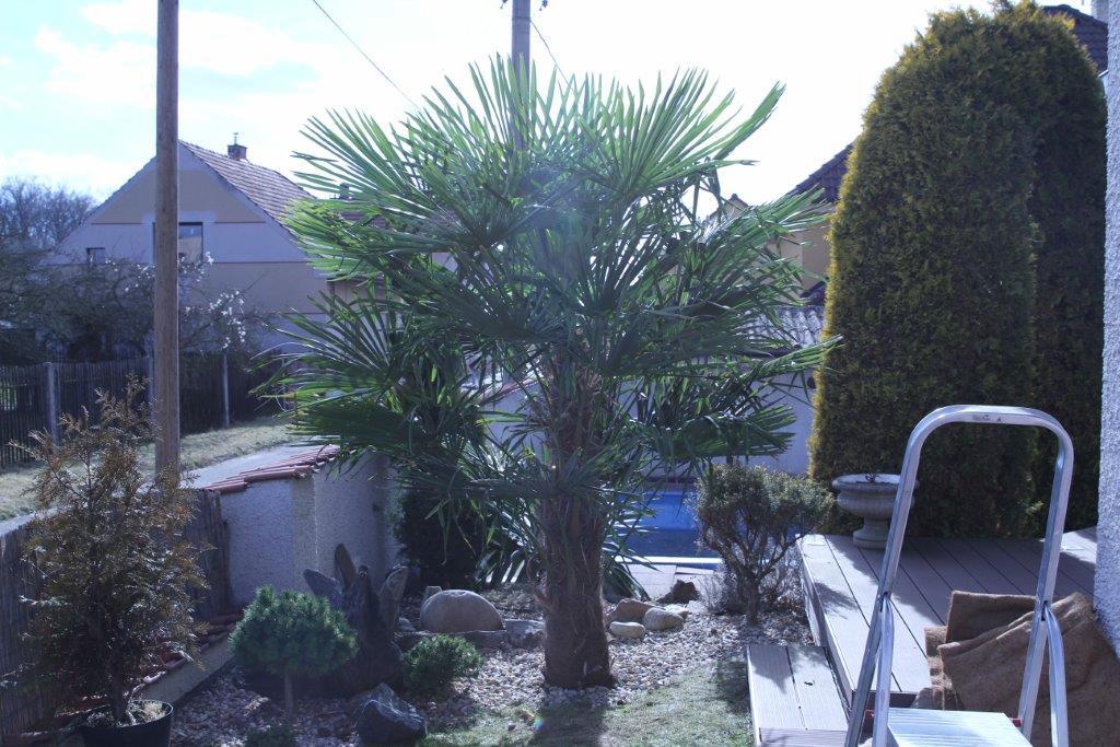 Trachycarpus fortunei, část 2 - Stránka 3 IMG_0784