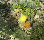 mrazuodolné opuncie - rod Opuntia - Stránka 3 IMG_2115