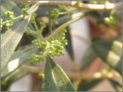 Olea europaea - olivovník evropský P5010024