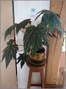 Bégonia platanifolia ou non ? DSC01596_REDIM