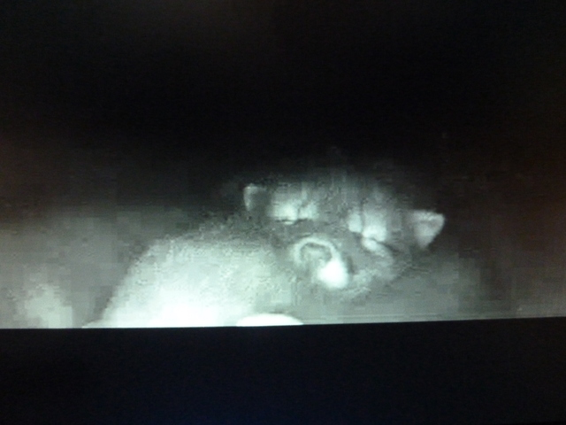 Fox Cam in the Netherlands 2014_04_25_vossen_001
