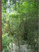 Citronečník trojlistý - Poncirus trifoliata IMG_2064