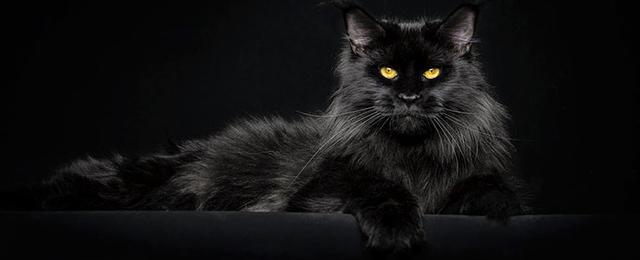 La tenue importe peu si le reste est bien fait. The_Majestic_Beauty_Of_Maine_Coon_Cats_Photograp
