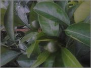 Pomerančovníky - Citrus sinensis - Stránka 2 2014_07_10_21_00_06