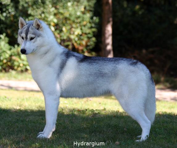 Sibirski Husky Tiwon_Body_Sept11_1