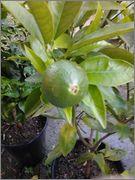 Pomerančovníky - Citrus sinensis - Stránka 3 2014_08_05_19_34_02