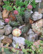mrazuodolné opuncie - rod Opuntia - Stránka 2 Fragilis
