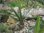 Mrazuodolné juky - rod Yucca IMG_1979