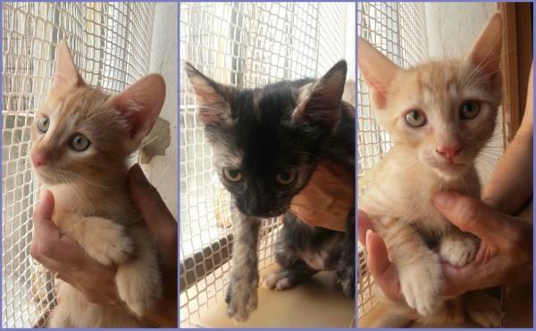 VALENCIA - Tres gatitos de mes y medio. Meri22