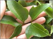 Určení druhu rostliny P4040107