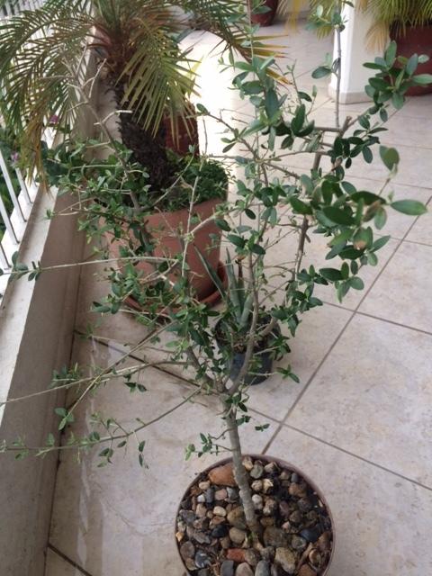 ¿Qué variedad de olivo es? (México) Image110