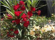 Nerium oleander - Pagina 13 Image
