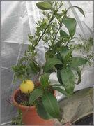 Grepfruity - Citrus paradisi DSCF3367