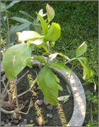 Citronečník trojlistý - Poncirus trifoliata IMG_2026