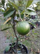 Pomerančovníky - Citrus sinensis - Stránka 3 2014_10_05_14_43_35