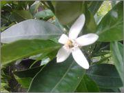 Pomerančovníky - Citrus sinensis - Stránka 2 2014_06_01_19_56_03