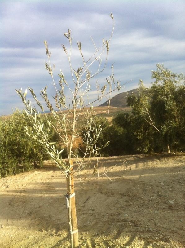 Defoliación en plantones (Jaén) 24g0kdl