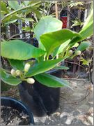 Citroníky - Citrus limon 2014_04_29_12_58_19