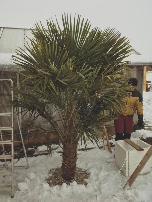 Trachycarpus fortunei, část 2 16298402_1910871949144108_1872257198358710682_n