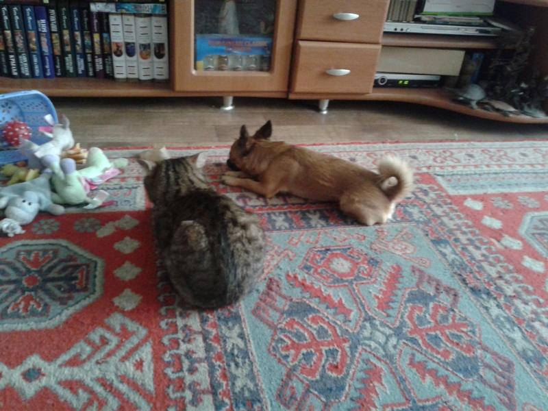 Как примирить кошку и чихуахуа 20140716_172649