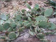 mrazuodolné opuncie - rod Opuntia DSCF0627