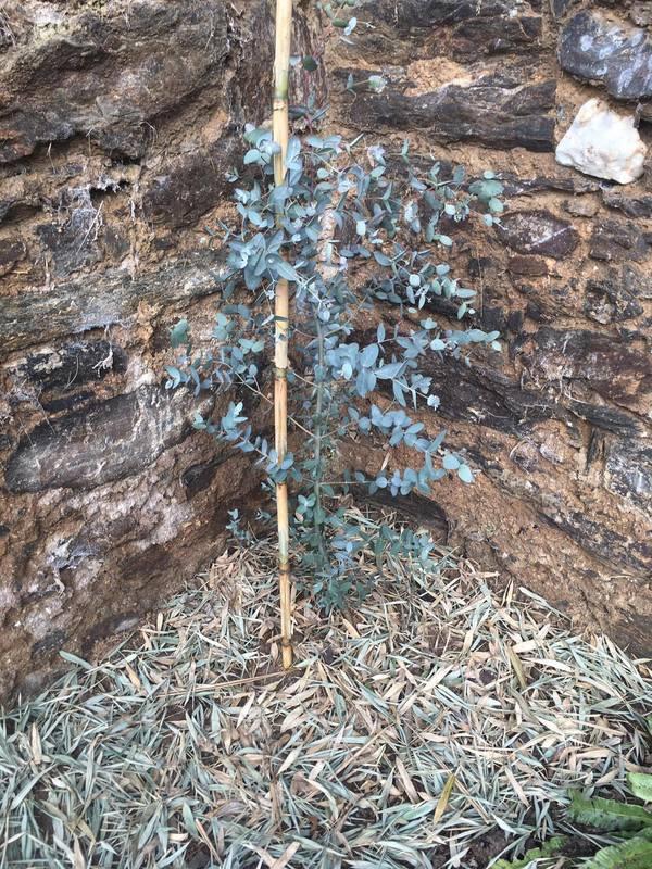 Eucalyptus 17148681_1929785347252768_2003617161_o