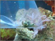 New Emerald Crab Purchase From Tropical Marine Pets IMG_0332