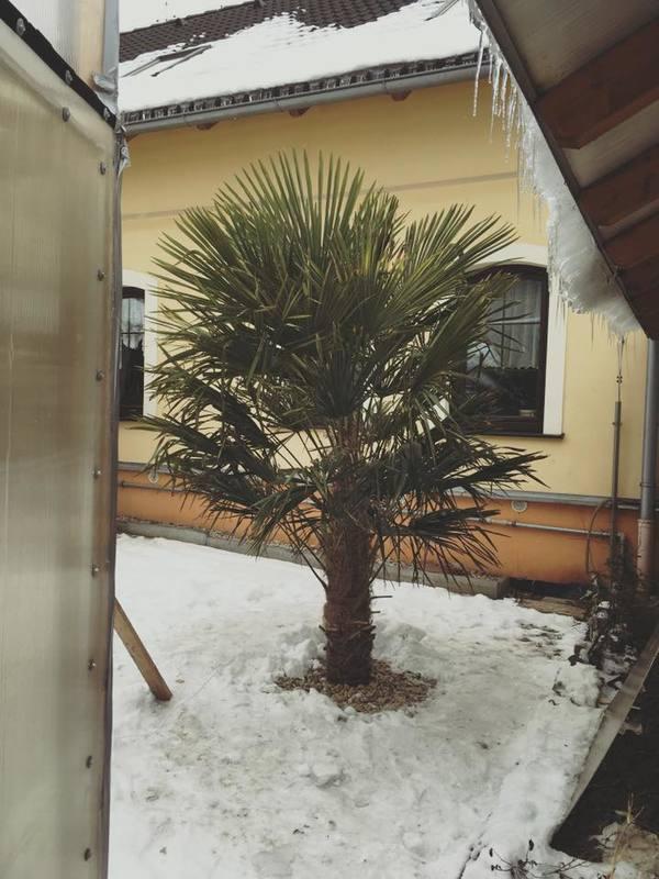 Trachycarpus fortunei, část 2 16265421_1910872239144079_7492365863868405600_n