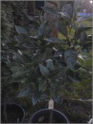 Citrusy všeobecně 2014_04_06_19_46_04