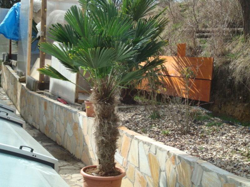Trachycarpus fortunei var. Wagnerianus - Stránka 2 DSC08237